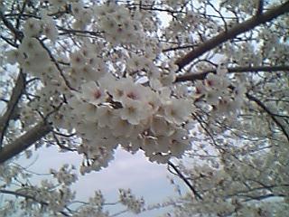 平和町桜祭り3