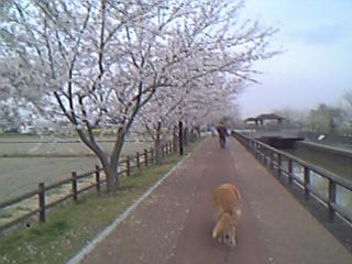 平和町桜祭り5 07年