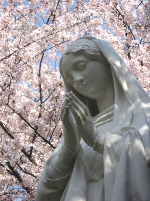 カトリック山手教会(桜)
