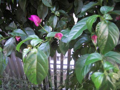 2009.5お花・お庭 006