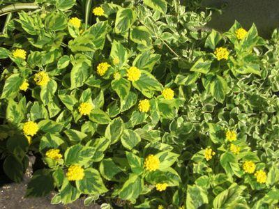 6.26黄色花