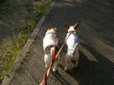 2ワン並んで散歩