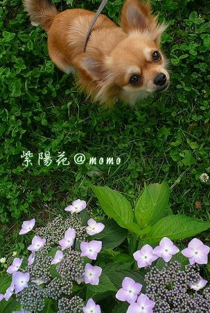 imageajisai.jpg