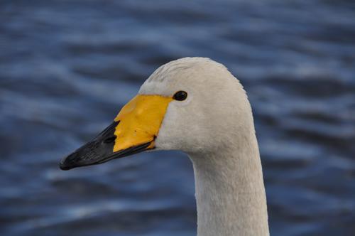 白鳥その2-1