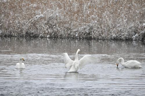 白鳥その2-2