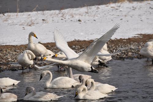 白鳥その2-3