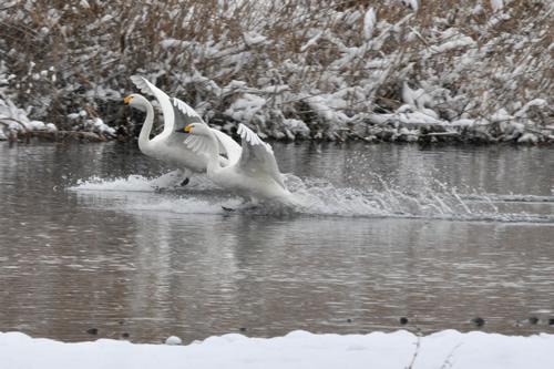 白鳥その2-4
