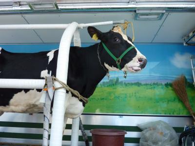 牛さんです