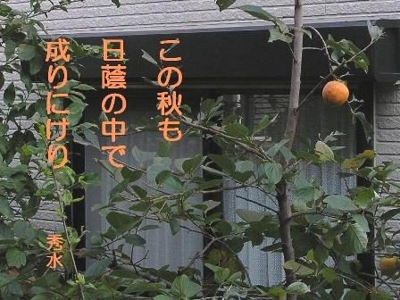 SD日陰柿