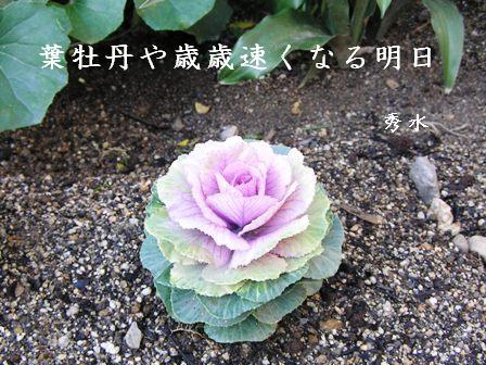 SD葉牡丹