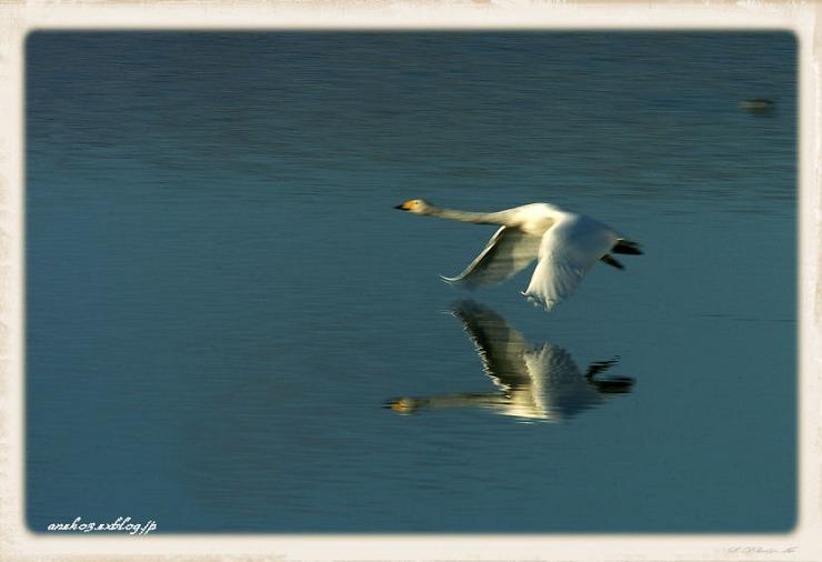 Swan#5