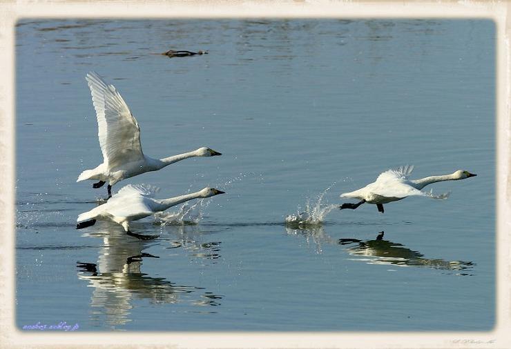 swan#2