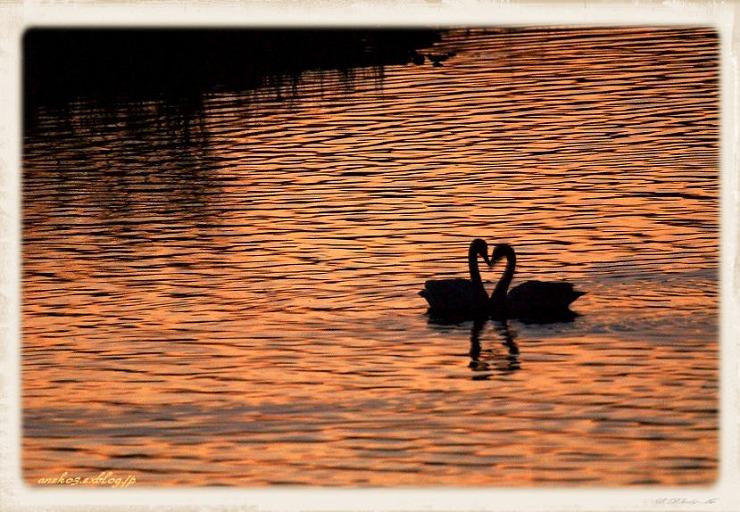 Swan#4