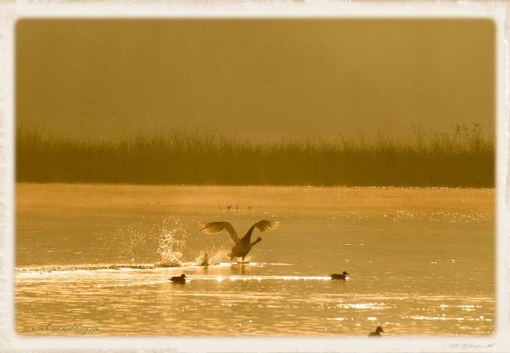 Swan#7
