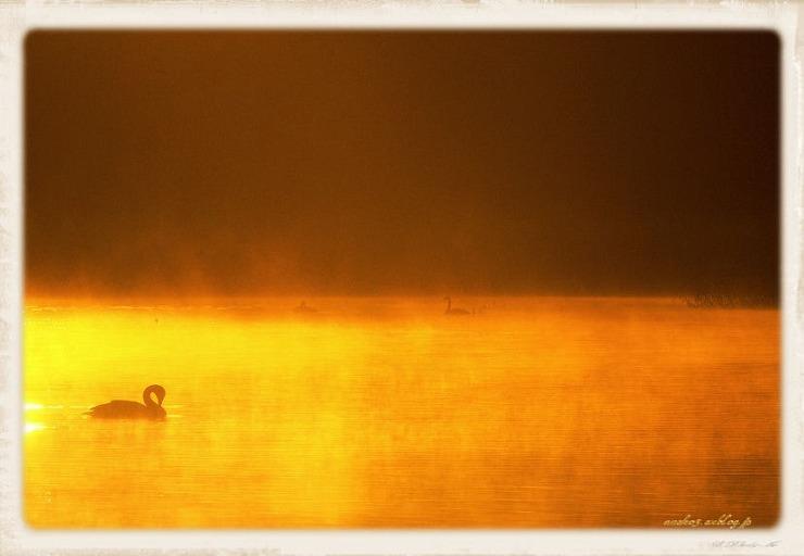Swan#11