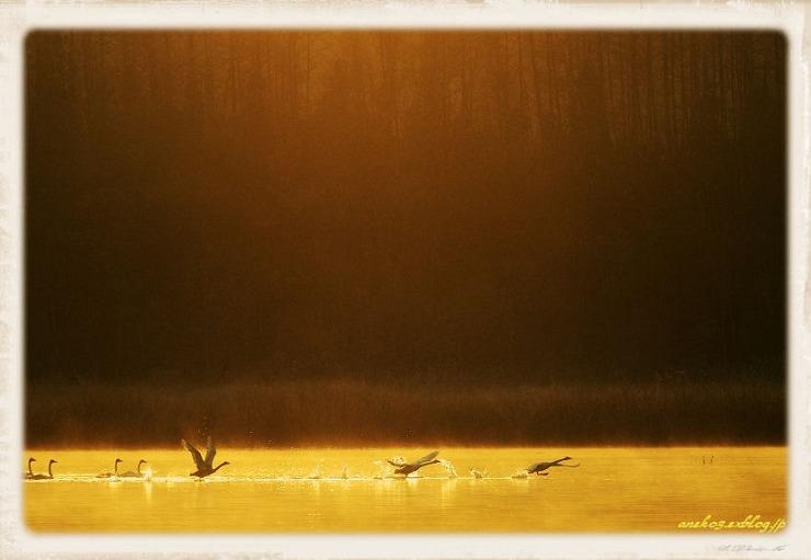 Swan#13