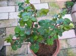 lavenderpinkio1.jpg