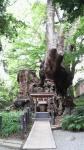 樹齢2千年の木1