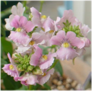 Nemesia denticulata