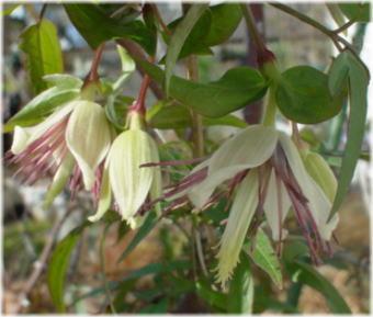 Clematis napaulensis