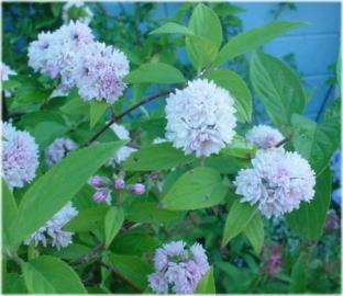 Deutzia ningpoensis 'Pink Pom-pom'