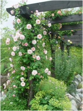 パーゴラのバラ