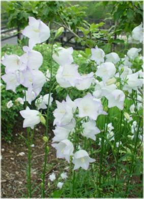 campanula persicifolia chettle charm?