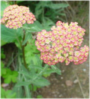 Achillea millefolium Summer Pastels
