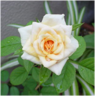 Rosa Barcelona