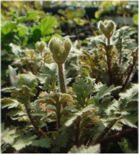 Primula filchnerae