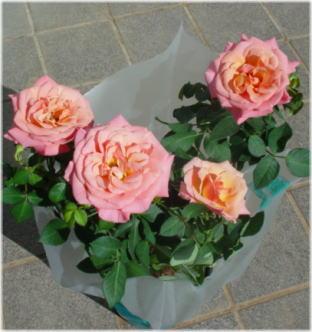 miniature rose jupiter optima