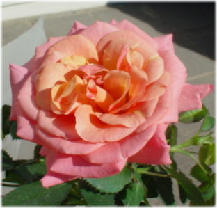 miniature rose jupiter optima