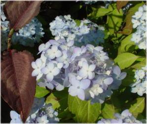 Hydrangea serrata 'Maiko'