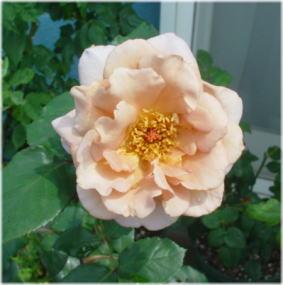 Julia's Rose