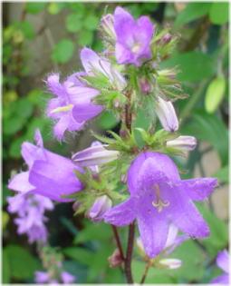 Campanula trachelium Faichem Lilac