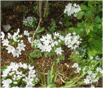 Allium neapolitanum Cyr.