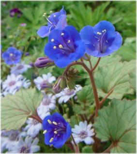 Phacelia campanularia'Blue Bell'