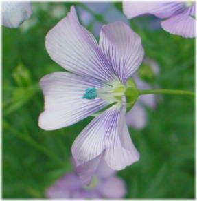 Linum Dawn Chorus mix
