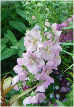 Verbascum phoeniceum Antique Rose