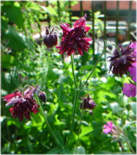 Aquilegia 'Ruby Port' ?
