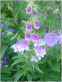 Penstemon 'Lilac frost'