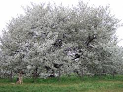 大きな桜の木の下で♪