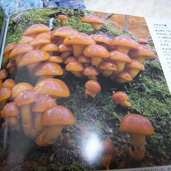 """きのこの世界・・・森のおくりびと。14 """"日本のきのこ"""" 美しい写真・・・ナメコさん"""