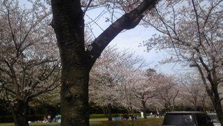 4/4桜1