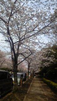 4/4桜2