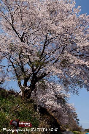090412sakura.jpg