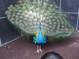 peacock090328.jpg