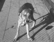 180px-Rabid_dog.jpg