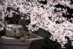 高瀬川の春