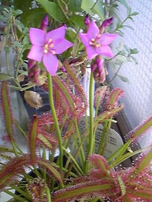 アフリカモウセンゴケの花
